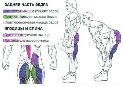 рабочие мышцы